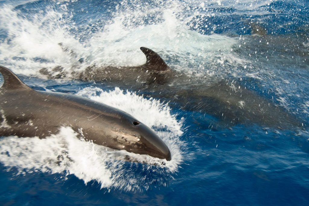 false killer whale pod