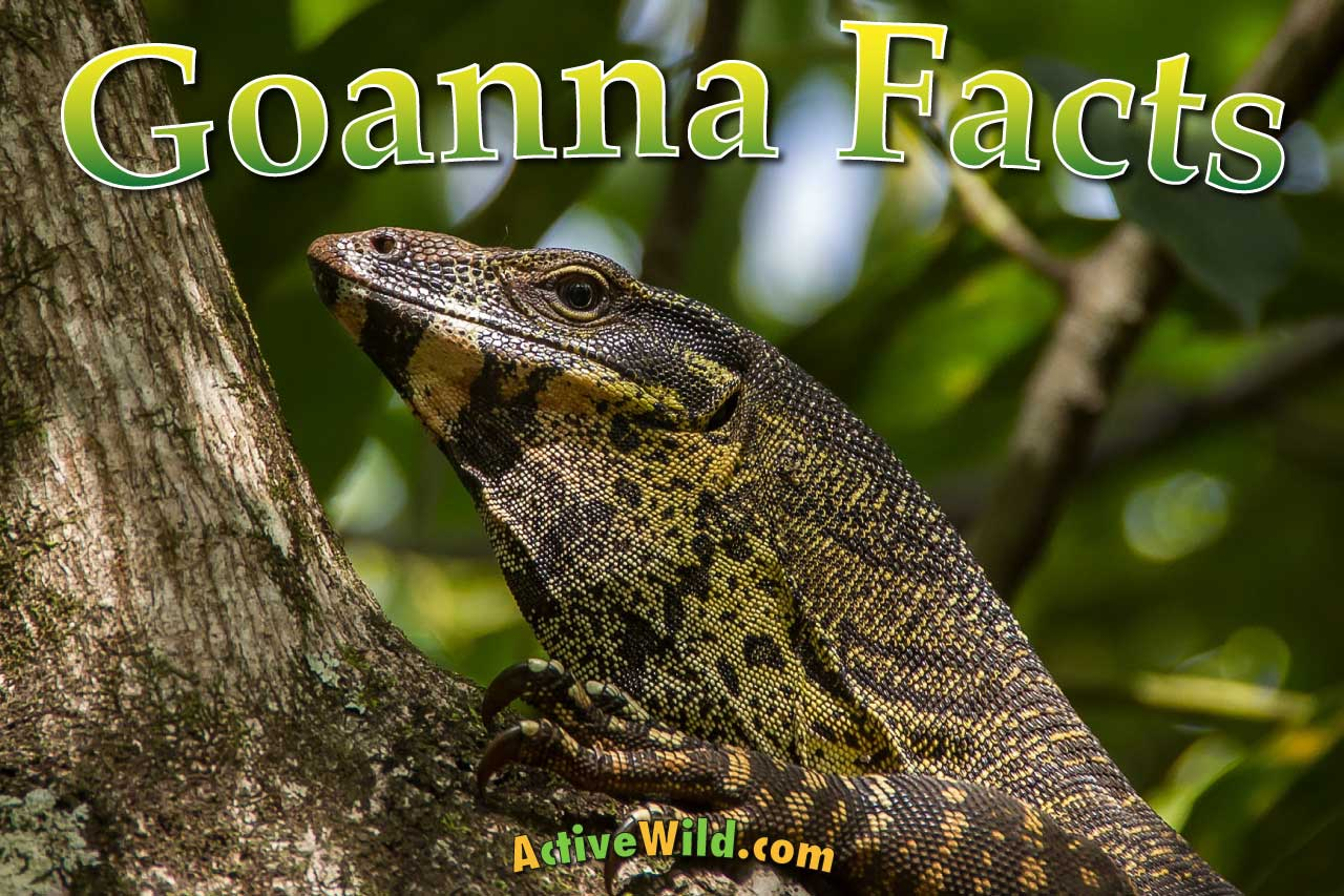 goanna facts