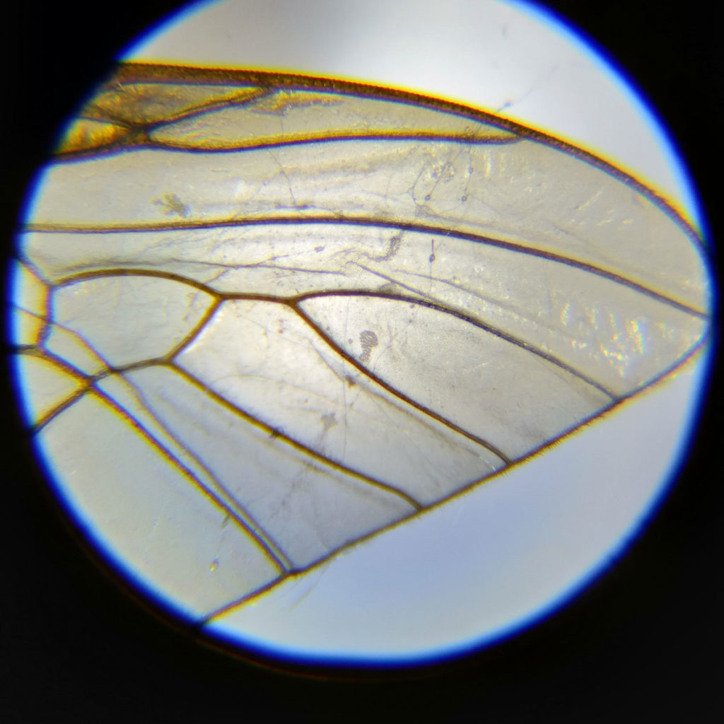 An insect's wing seen through the MicroBrite MM-24 Pocket Microscope.