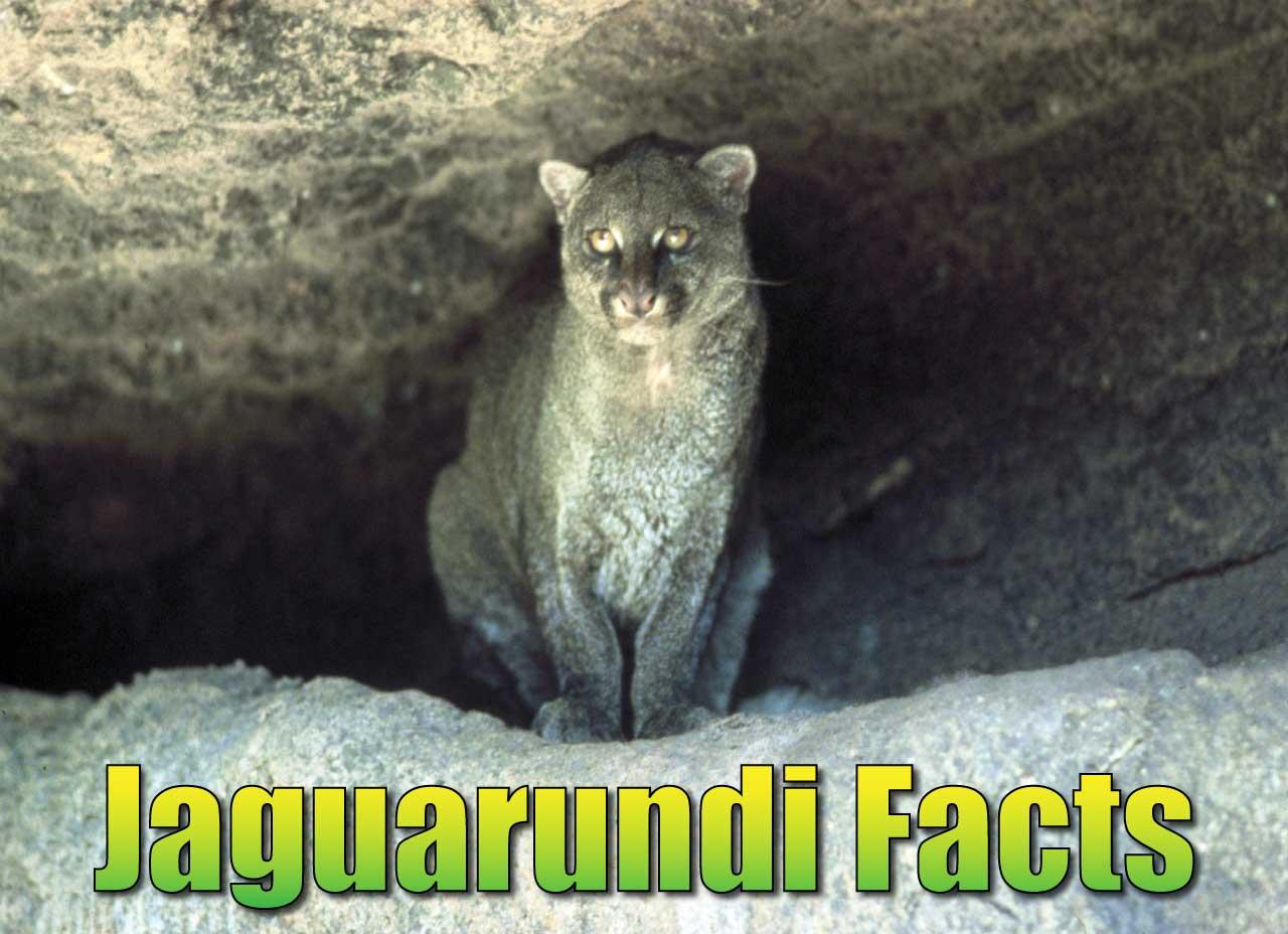 jaguarundi facts