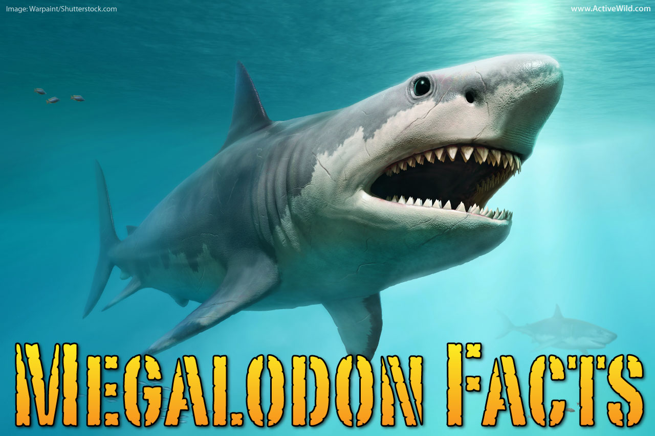 megalodon facts for kids