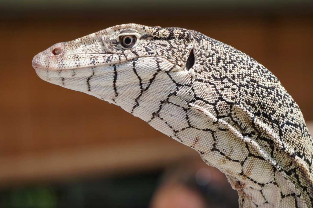 perentie close up