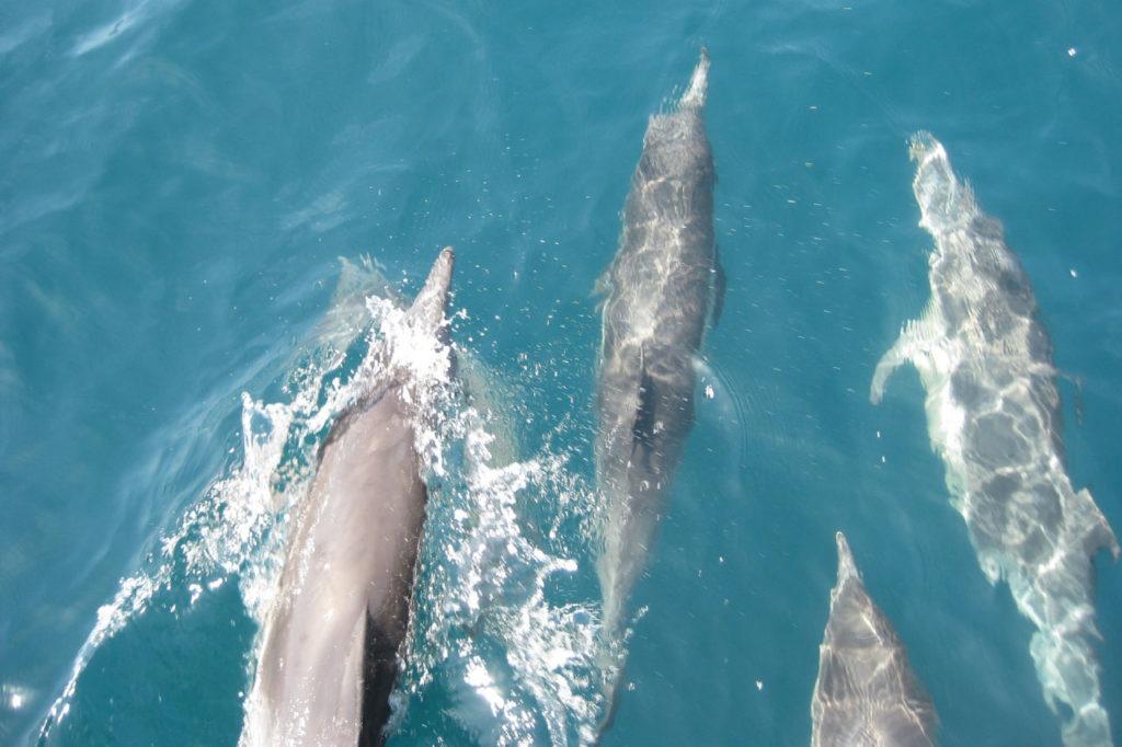 pod of bottlenose dolphins