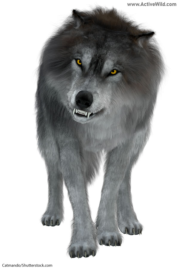 Dire Wolf Facts, Pictures & Information. A Fearsome ...