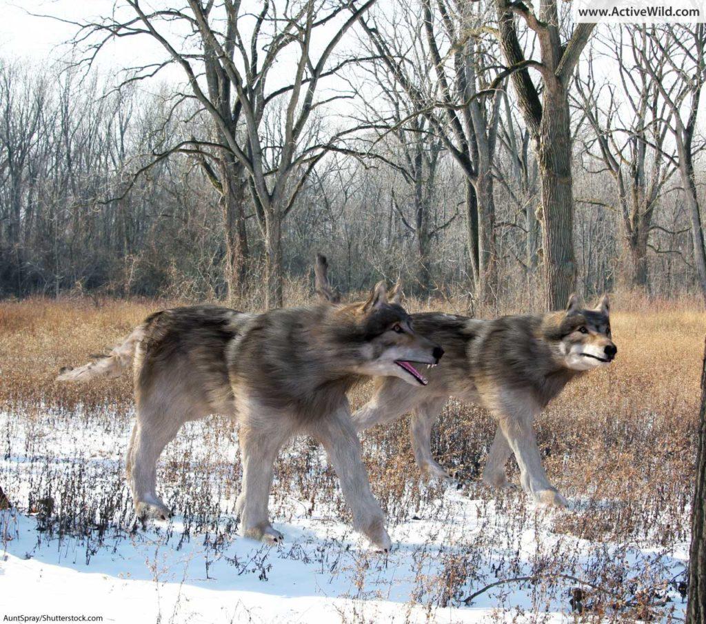 dire wolves in snowy landscape