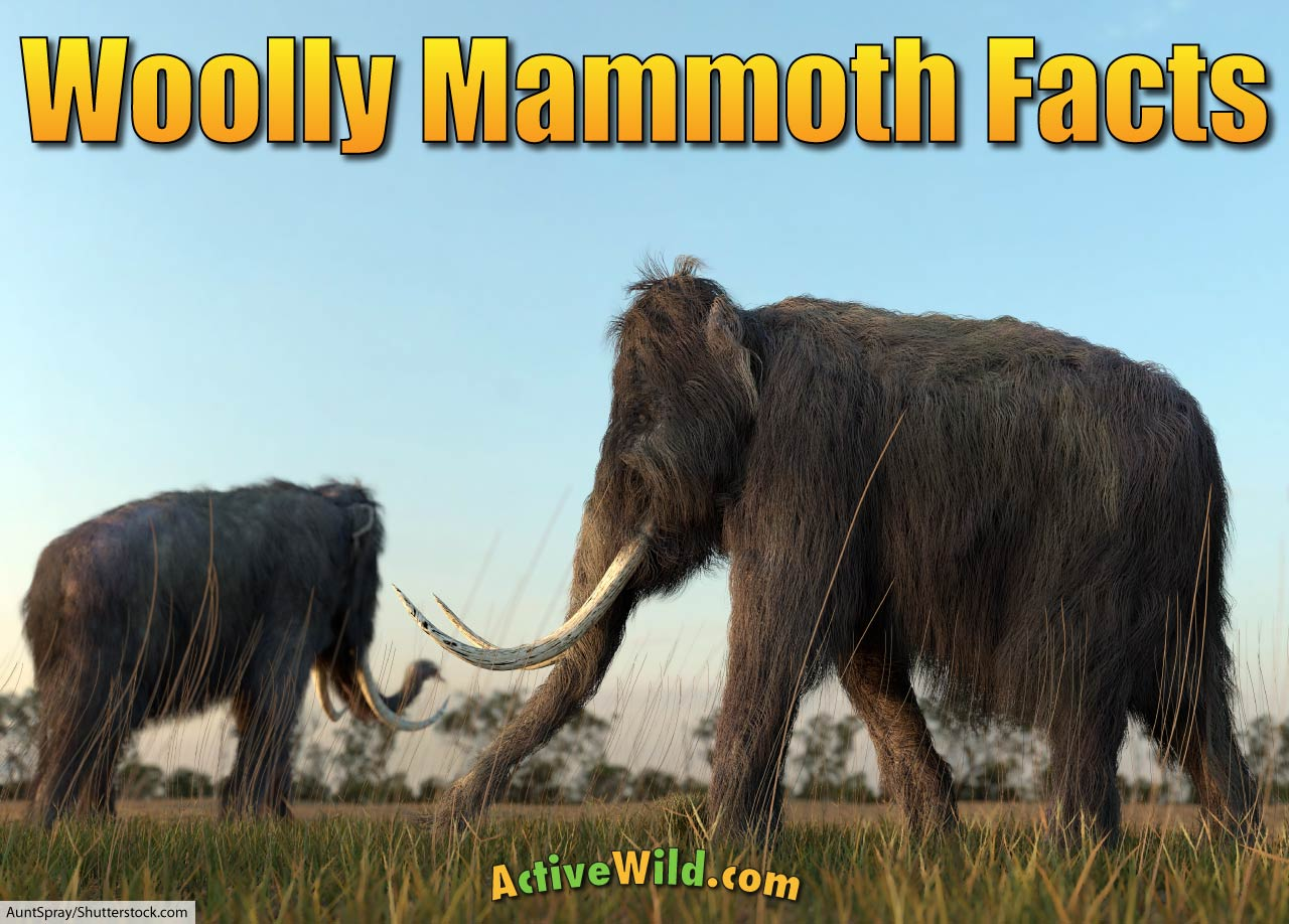 Z Ranch Mammoth Menu Woolly Mammoth Facts F...
