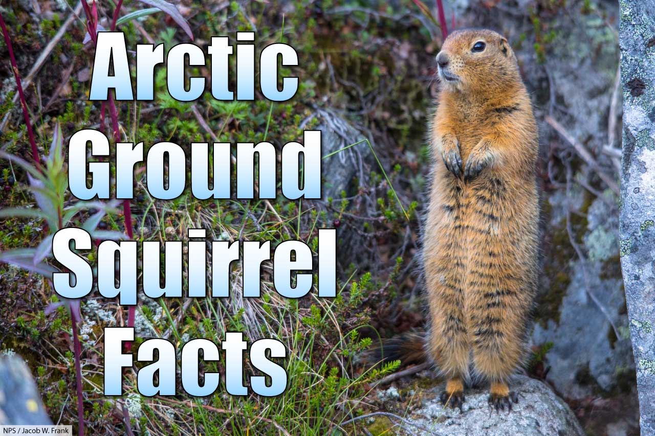 arctic ground squirrel facts