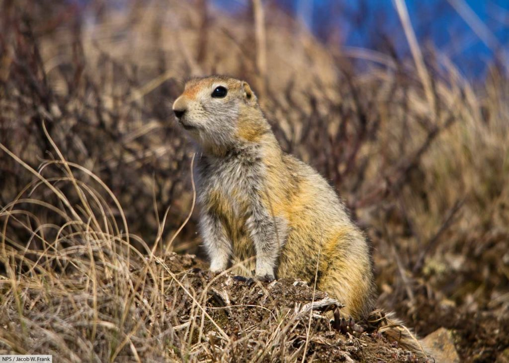 arctic ground squirrel in grass