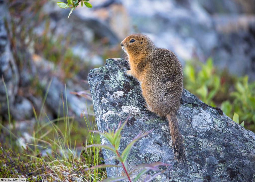 arctic ground squirrel on rock