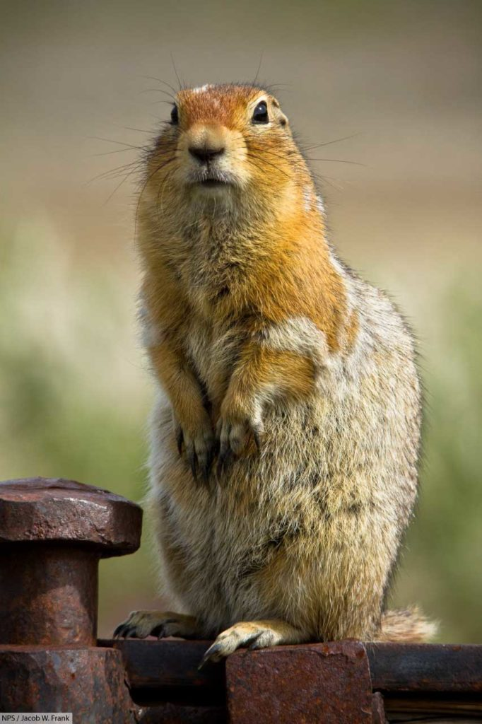 arctic ground squirrel standing