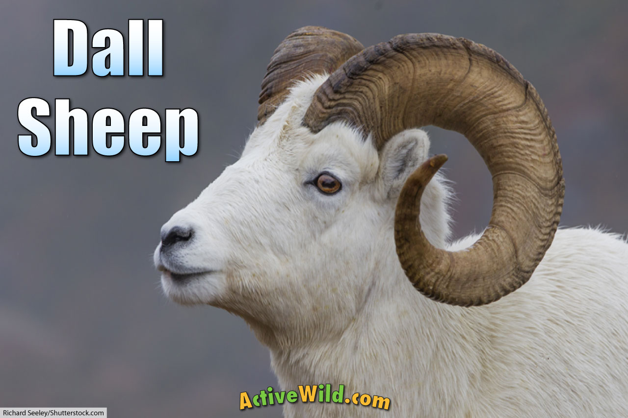 dall sheep facts