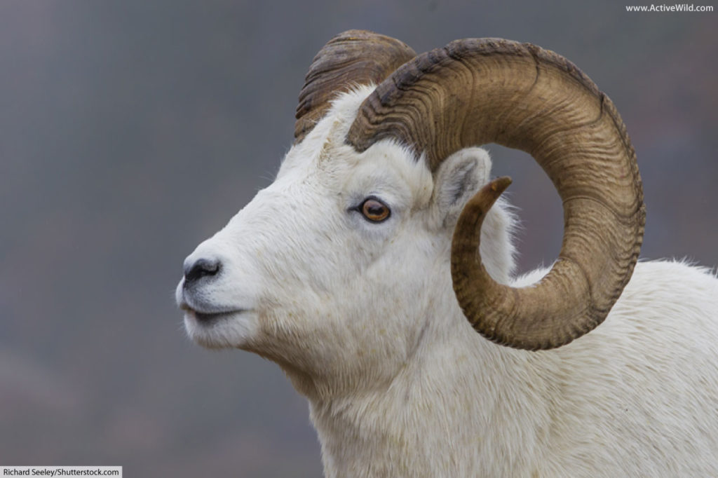 dall sheep head and horns