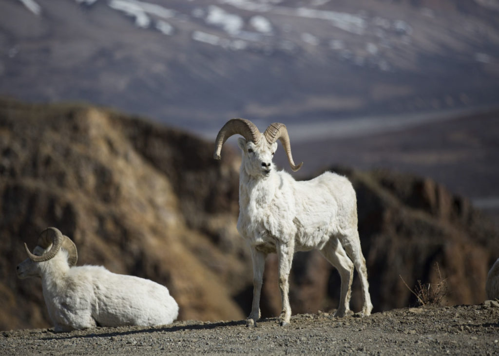 dall sheep in mountain habitat