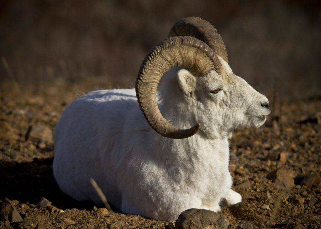 dall sheep male sitting