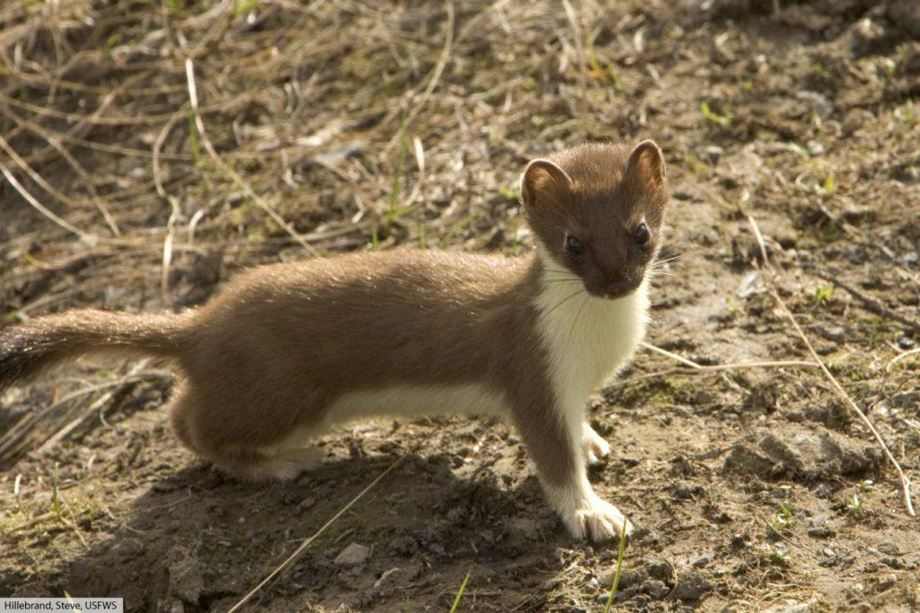 short tailed weasel summer coat