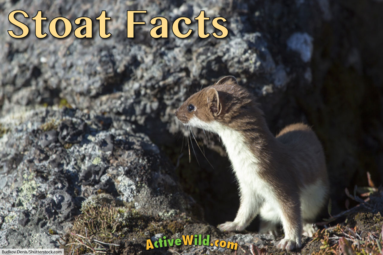 stoat facts