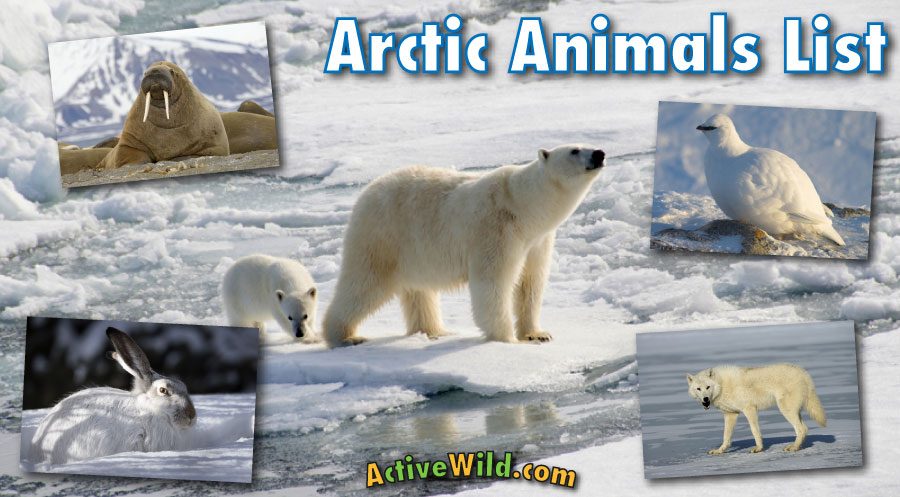 Arctic Animals List