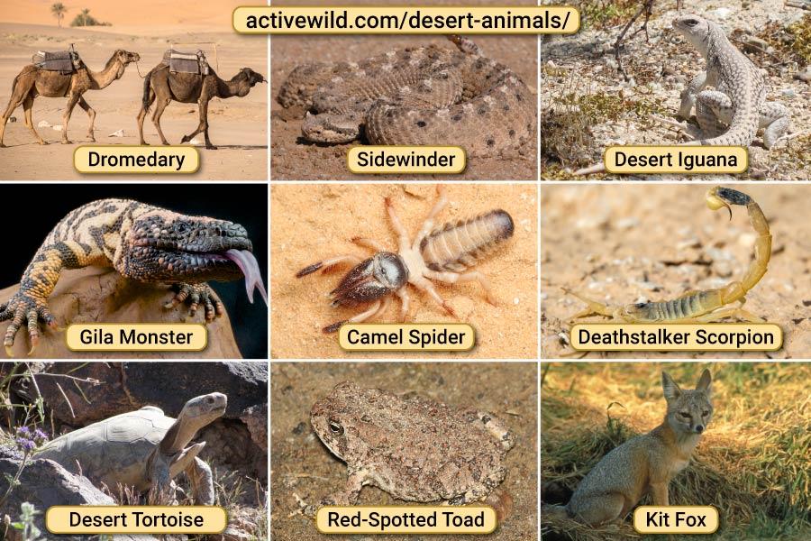 Desert Animals Pictures
