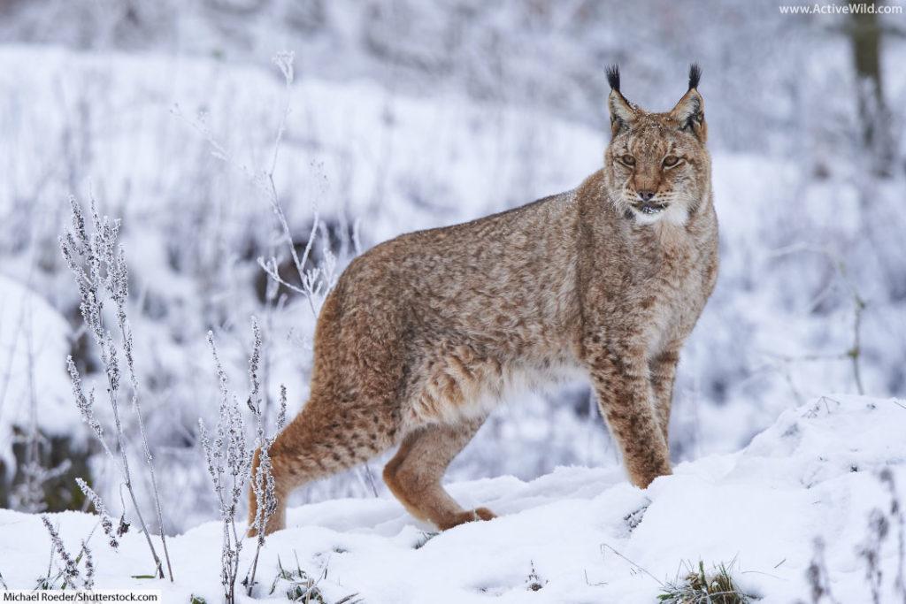 Eurasian Lynx in winter