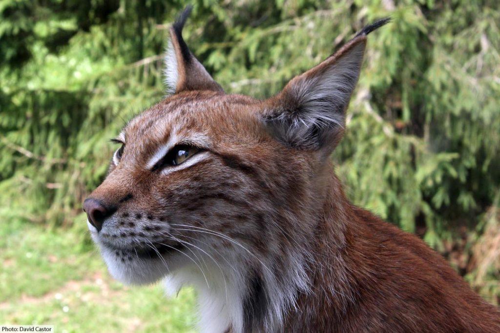 Eurasian Lynx Face Close Up