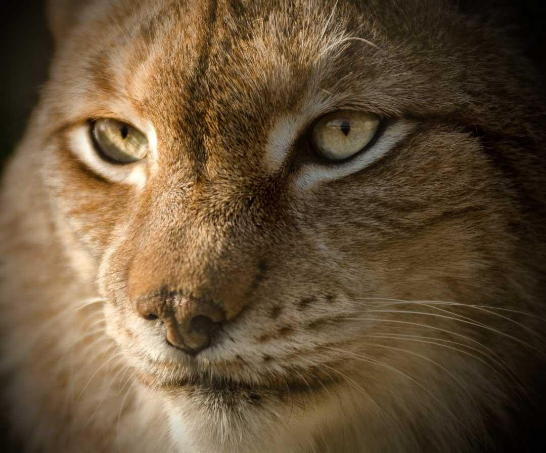 Eurasian Lynx Facts