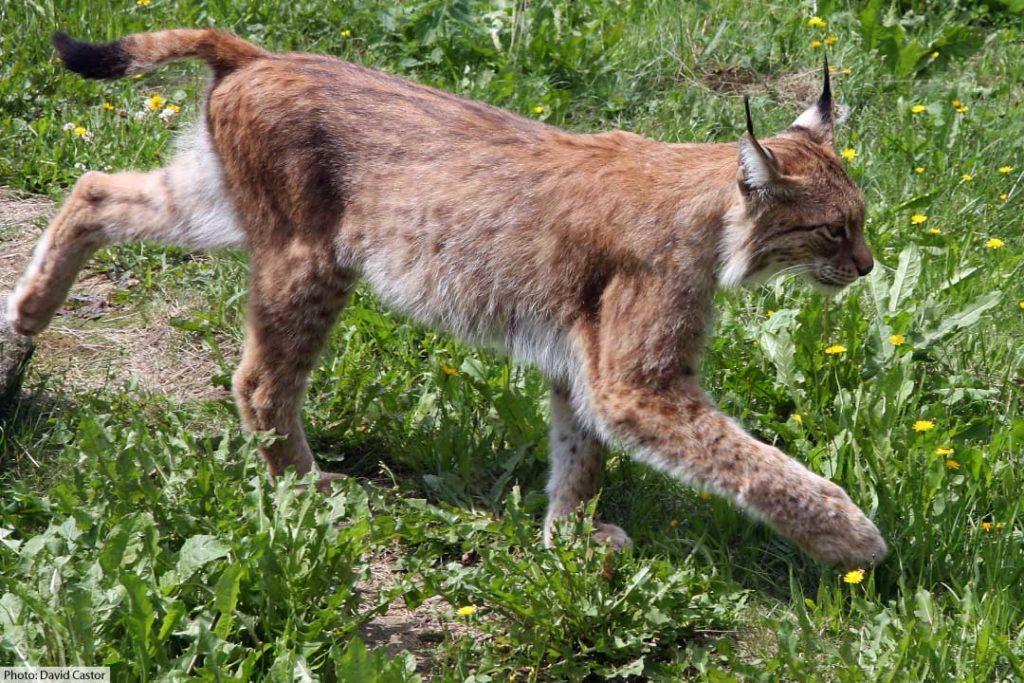 Eurasian Lynx Walking
