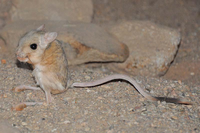 Jerboa desert rodent