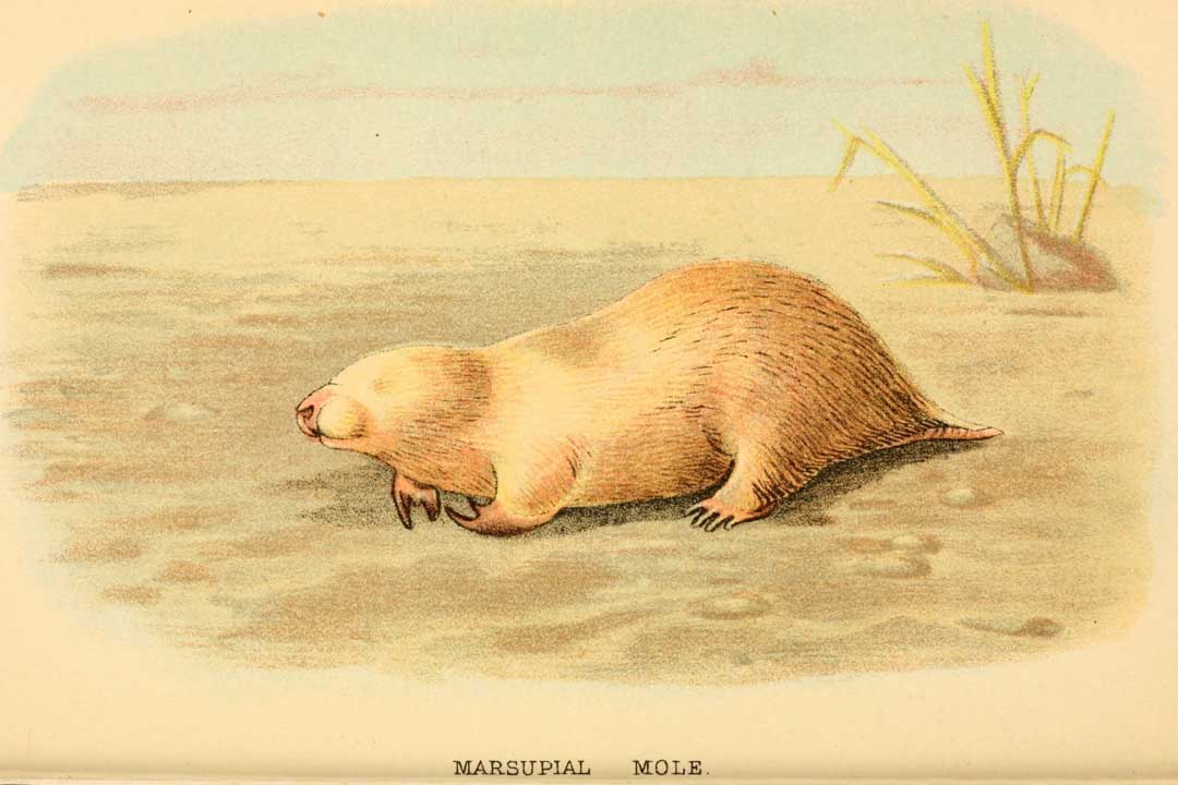 Marsupial Mole