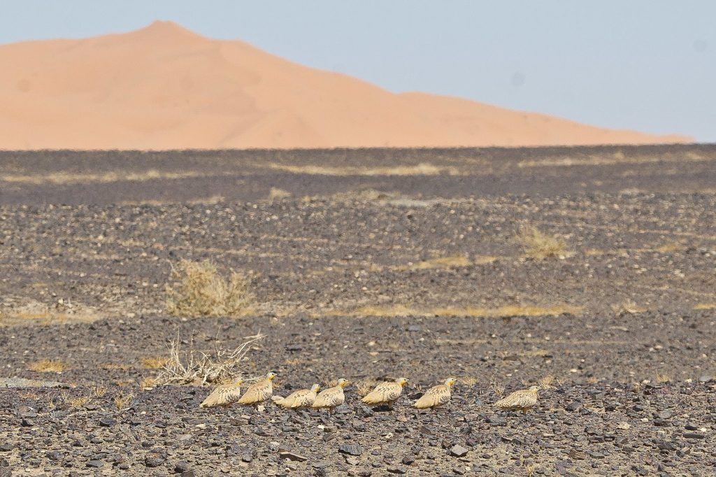 Desert birds Spotted Sandgrouse