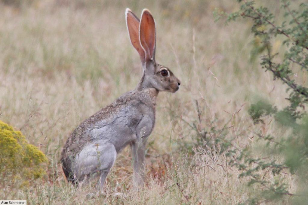 antelope jackrabbit