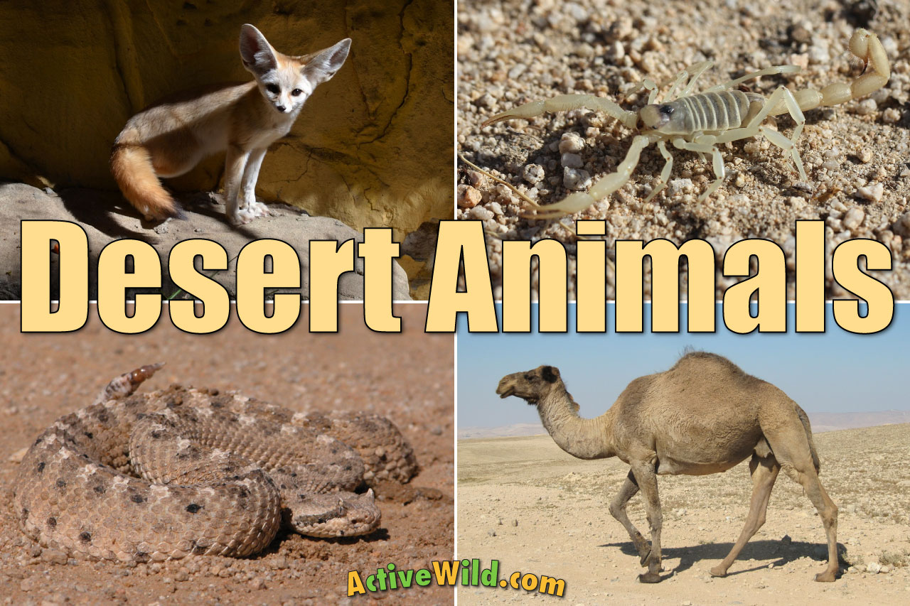 Desert Animals For Kids: List With Pictures & Facts. Desert Adaptations