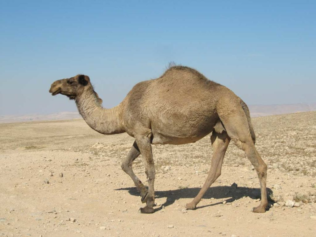 Desert Animals For Kids: List With Pictures & Facts ...