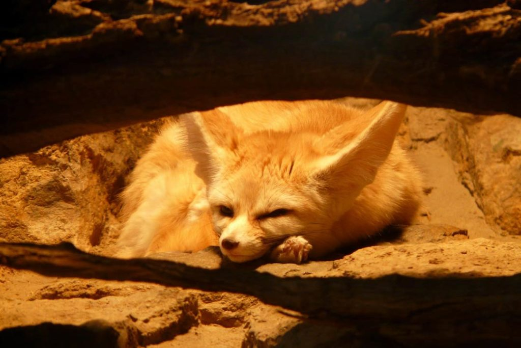 fennec fox in den