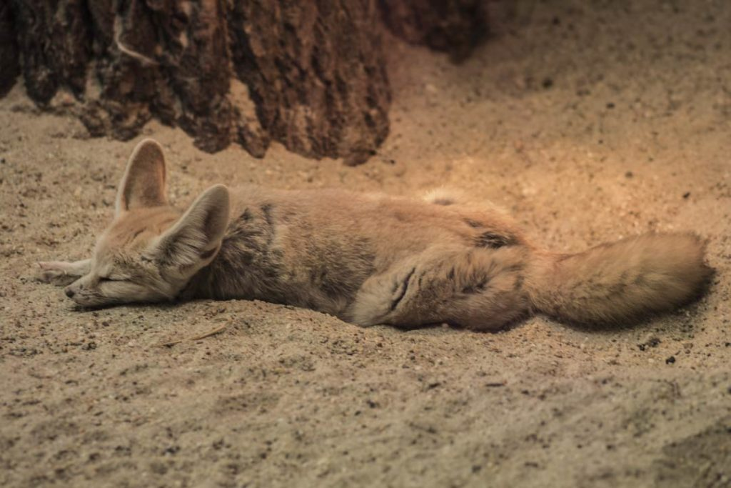 fennec fox in desert sleeping