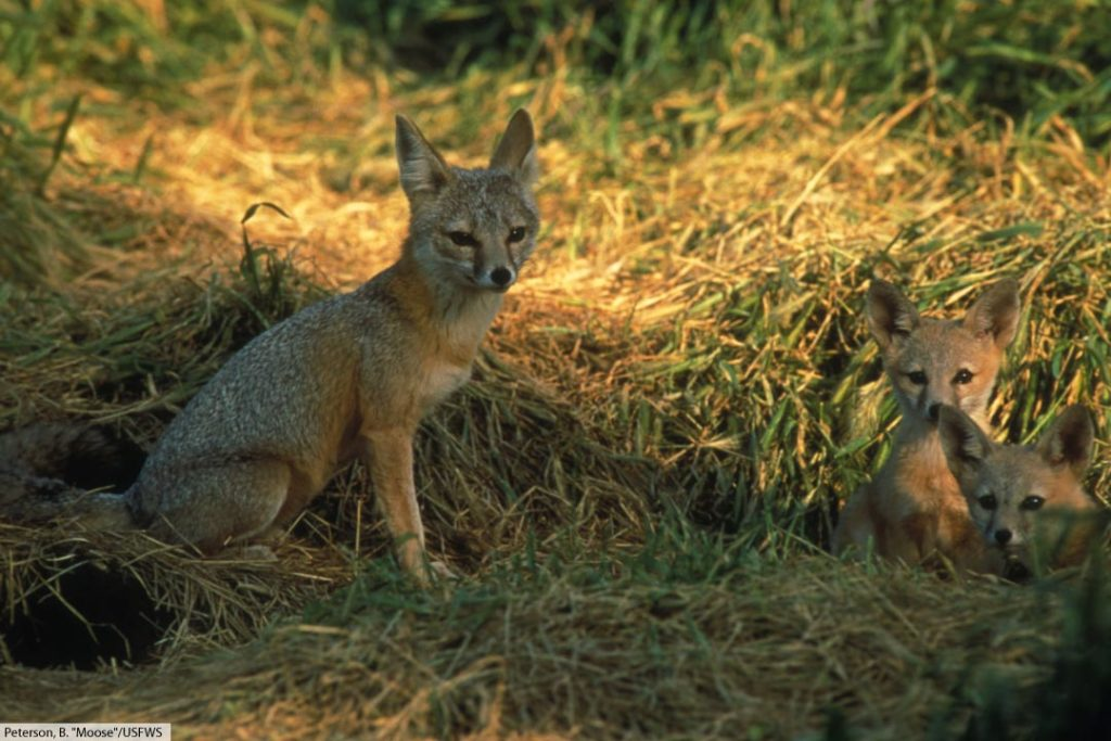 kit fox with cubs