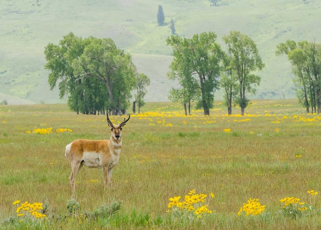 lone male American antelope in summer meadow