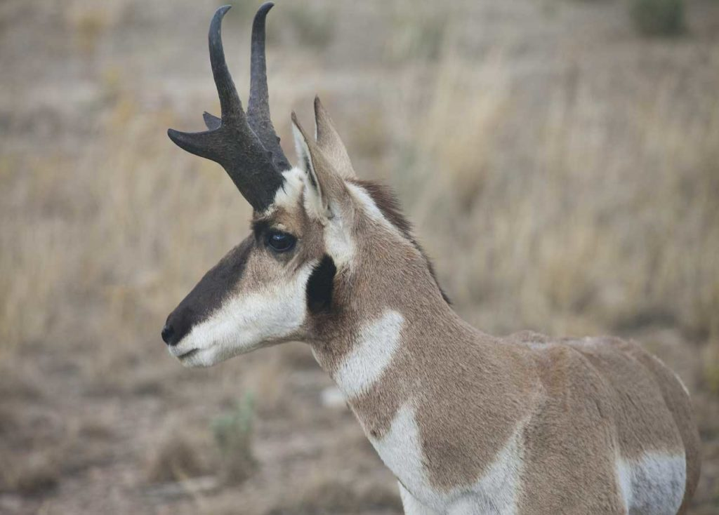 male pronghorn buck