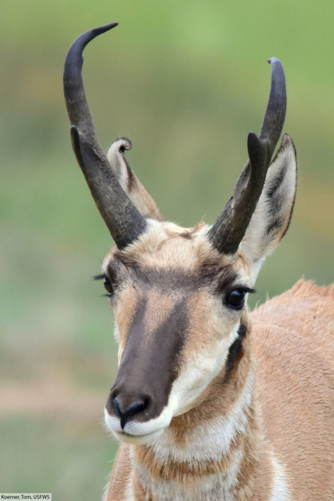 pronghorn face close up