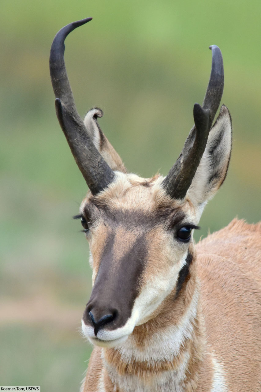 Pronghorn Facts Pictures Video In Depth Info Second Fastest Animal