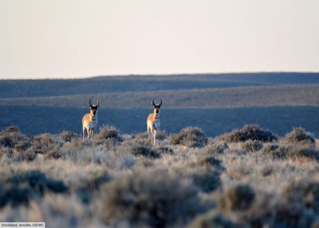 pronghorn habitat sagebrush