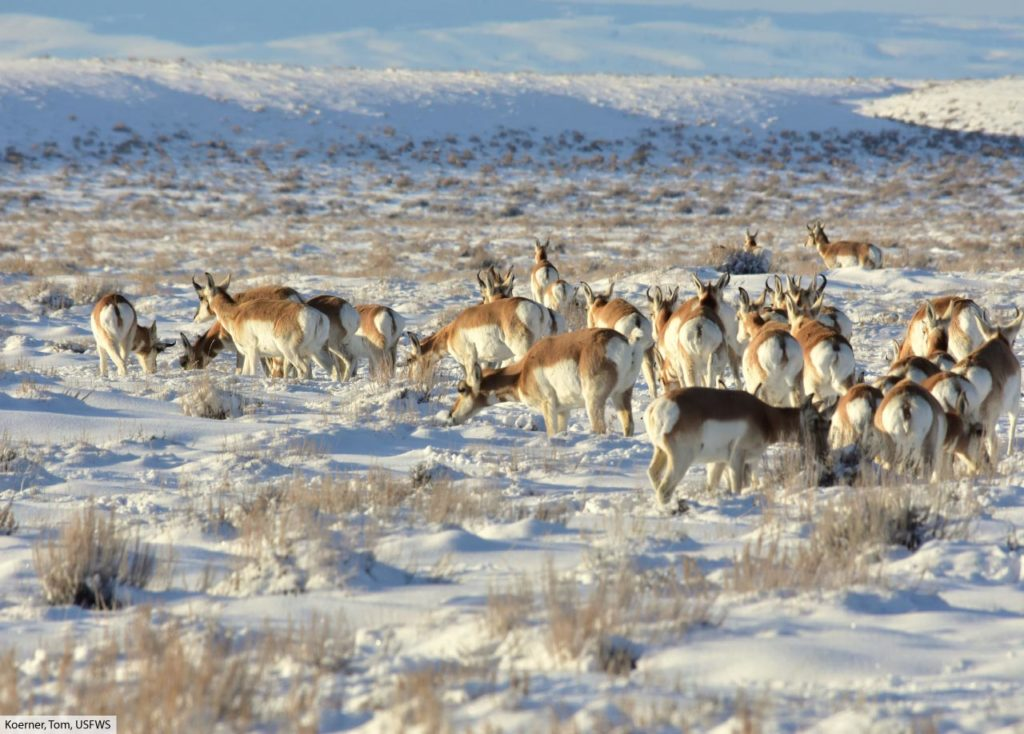 pronghorn herd in snow