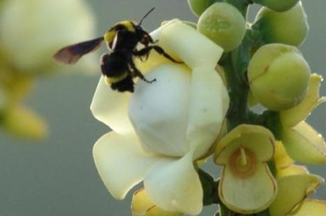 rainforest bumblebee