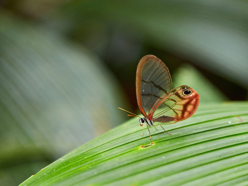 Clear winged butterfly