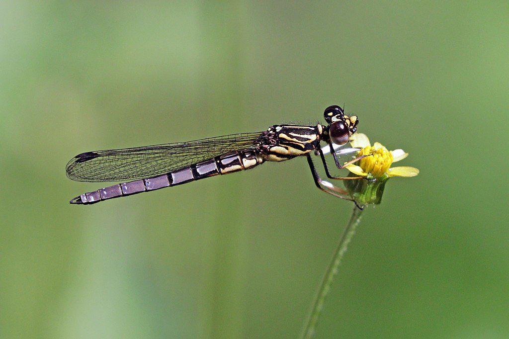 Dancing Jewel Dragonfly