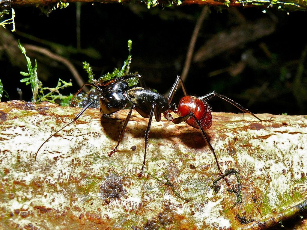 giant forest ant