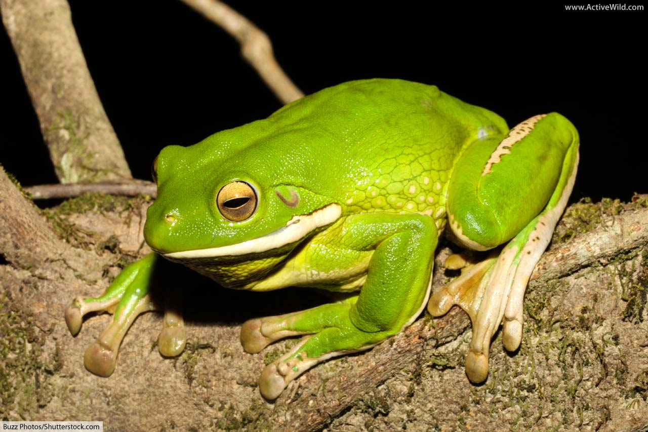 White-Lipped Tree frog facts