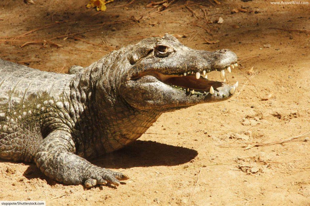 Caiman in List Of Rainforest Animals