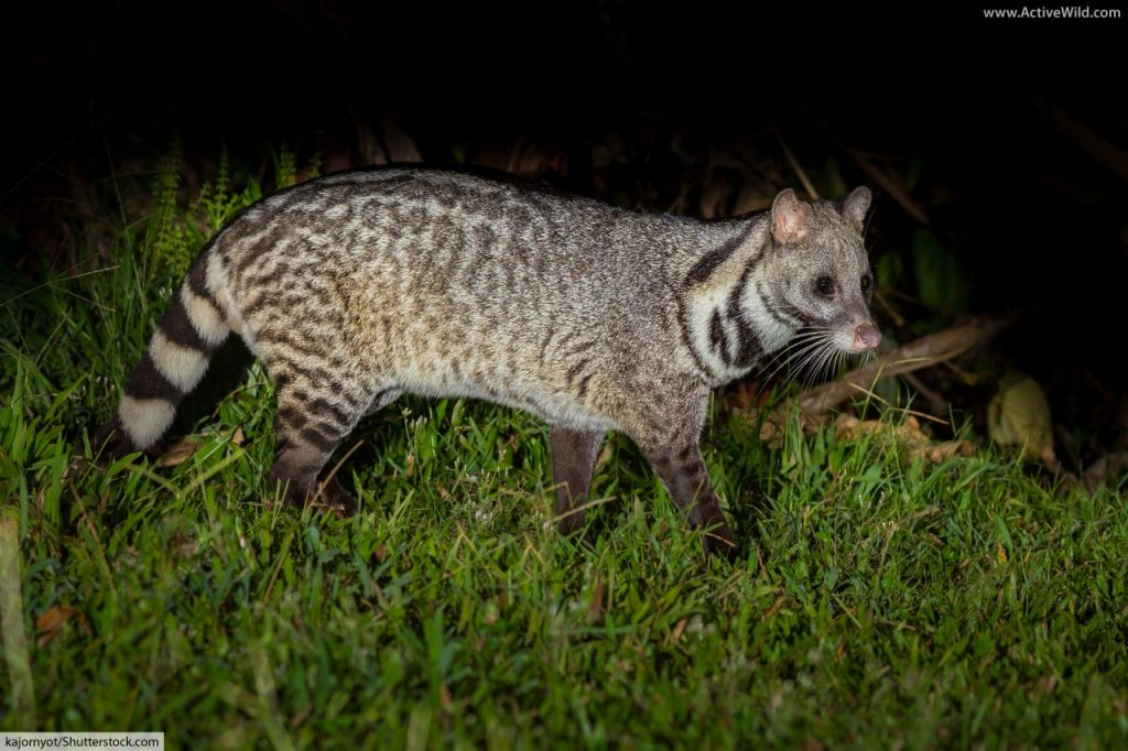 Small Indian civet (Viverricula indica), a species found in South and Southeast Asia