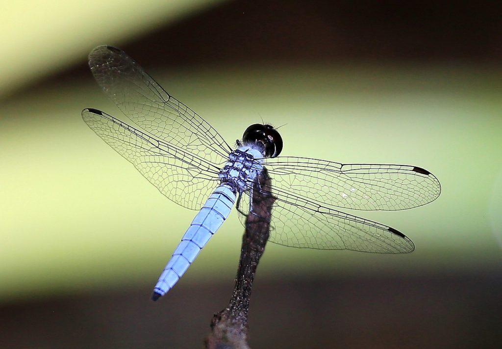 darkmouth dragonfly