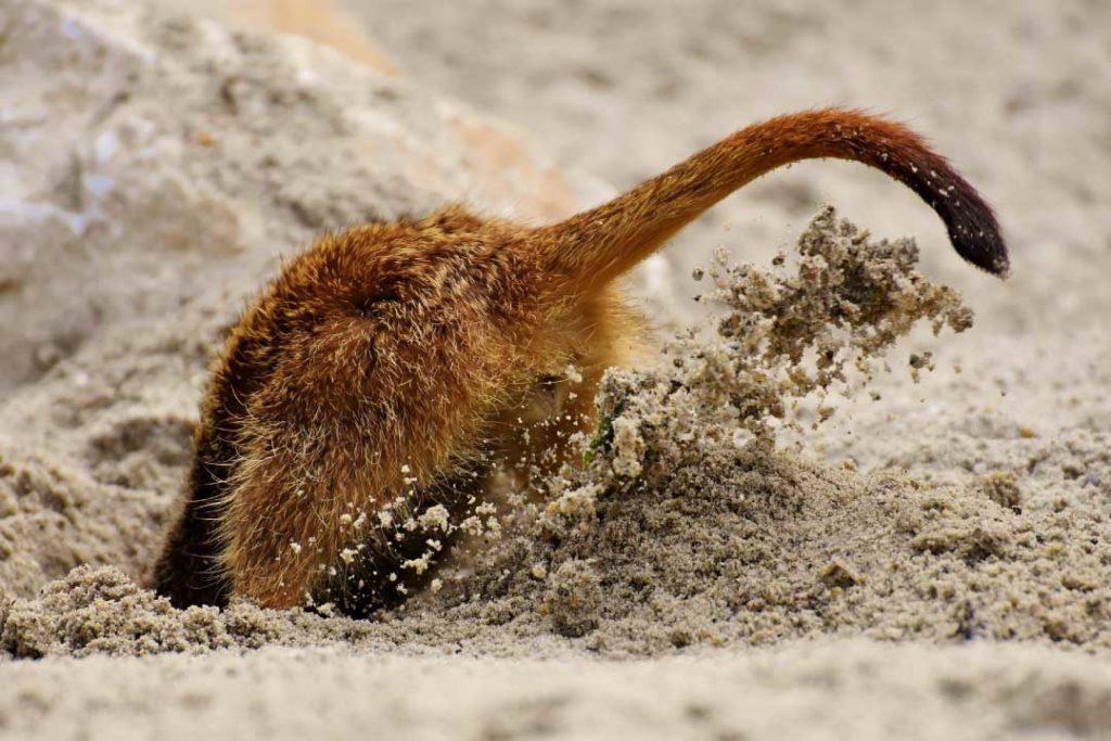 meerkat burrowing